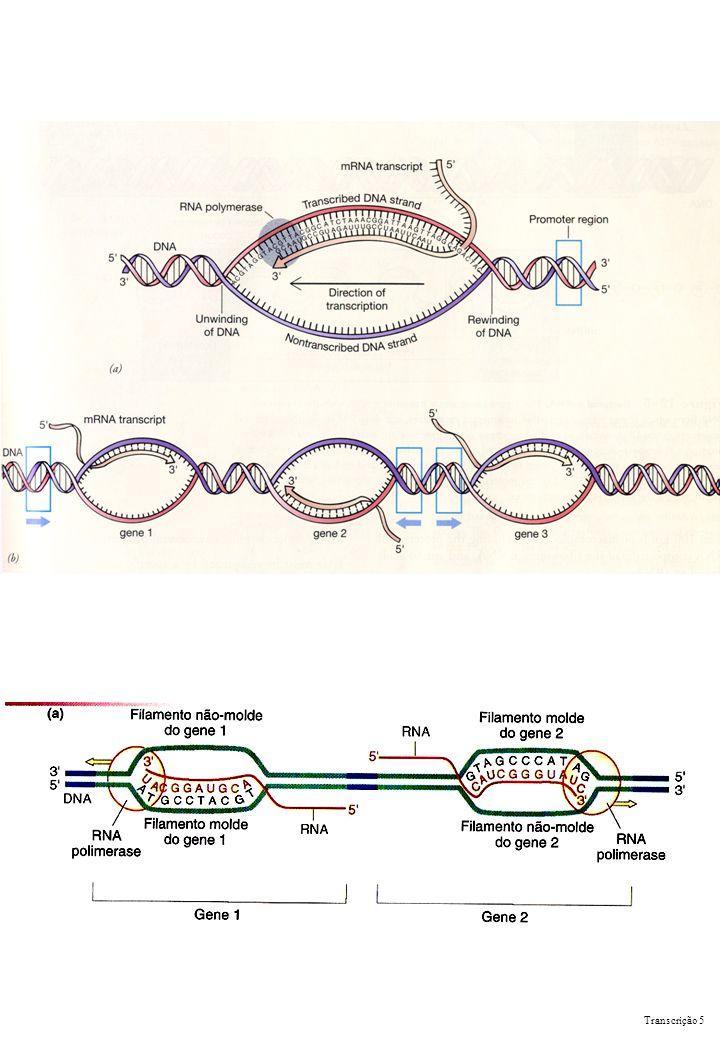 Término da transcrição Independente de rho Transcrição 6 Dependente de rho