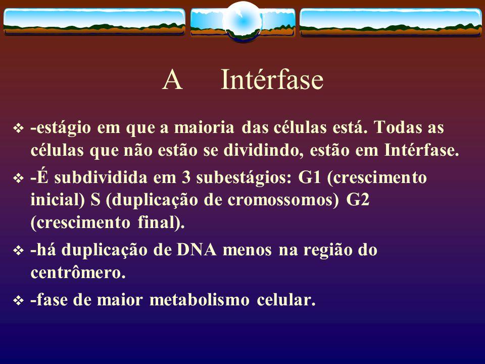 A Intérfase -estágio em que a maioria das células está.