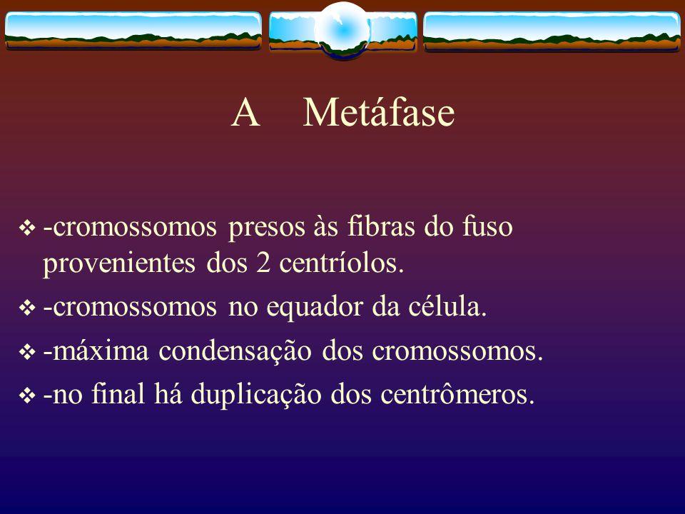 A Metáfase -cromossomos presos às fibras do fuso provenientes dos 2 centríolos.