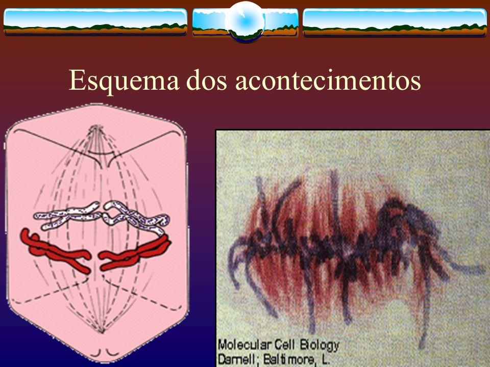 Citocinese