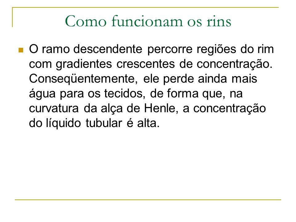 Como funcionam os rins O ramo descendente percorre regiões do rim com gradientes crescentes de concentração.