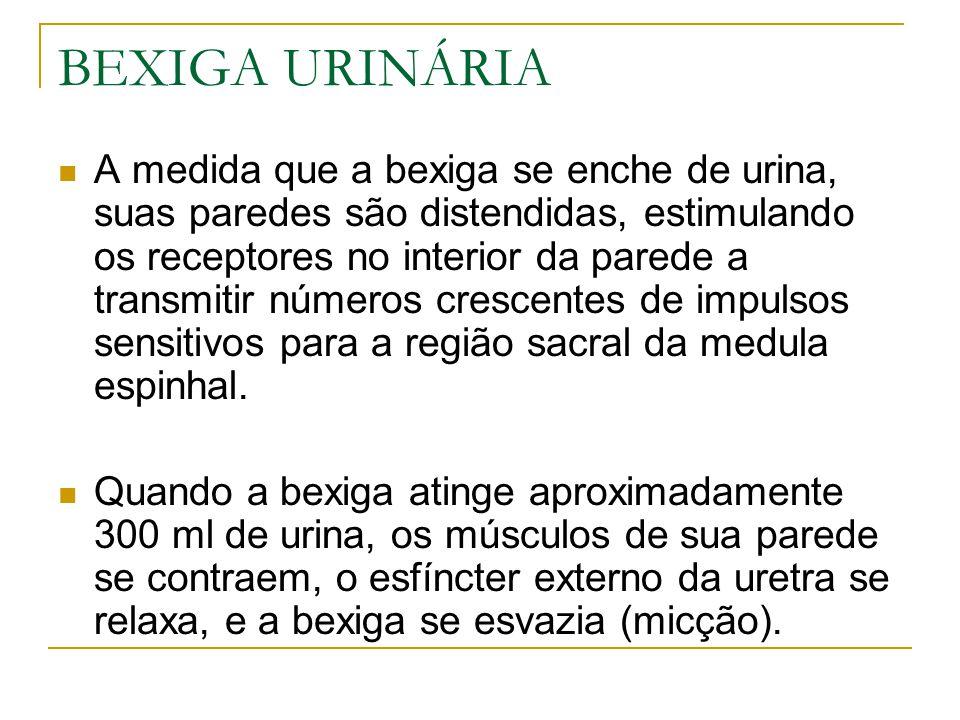 BEXIGA URINÁRIA A medida que a bexiga se enche de urina, suas paredes são distendidas, estimulando os receptores no interior da parede a transmitir números crescentes de impulsos sensitivos para a região sacral da medula espinhal.