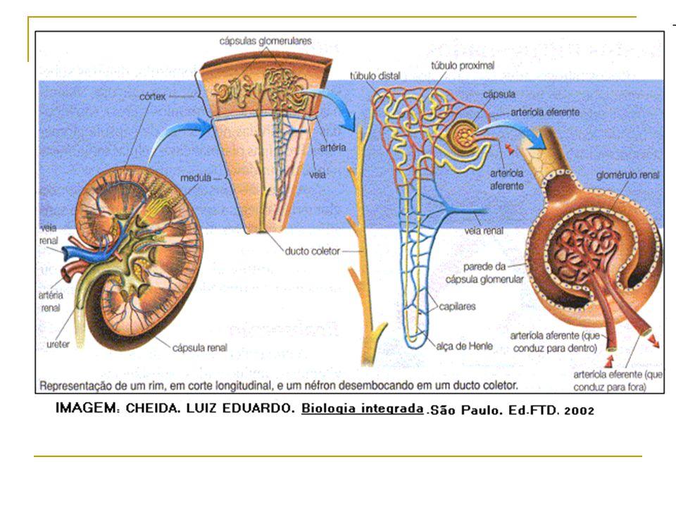 Como funcionam os rins Esse líquido muito concentrado passa então a percorrer o ramo ascendente da alça de Henle, que é formado por células impermeáveis à água e que estão adaptadas ao transporte ativo de sais.