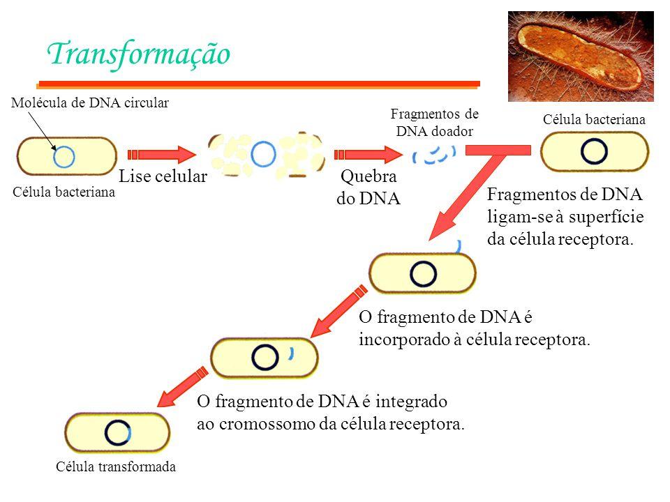 Transformação Célula bacteriana Lise celularQuebra do DNA Fragmentos de DNA doador Célula bacteriana Fragmentos de DNA ligam-se à superfície da célula receptora.