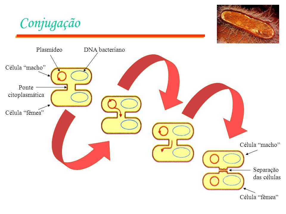 Conjugação PlasmídeoDNA bacteriano Ponte citoplasmática Célula fêmea Célula macho Separação das células Célula macho Célula fêmea