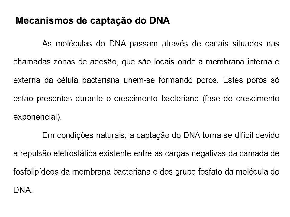 Mecanismos de captação do DNA As moléculas do DNA passam através de canais situados nas chamadas zonas de adesão, que são locais onde a membrana inter