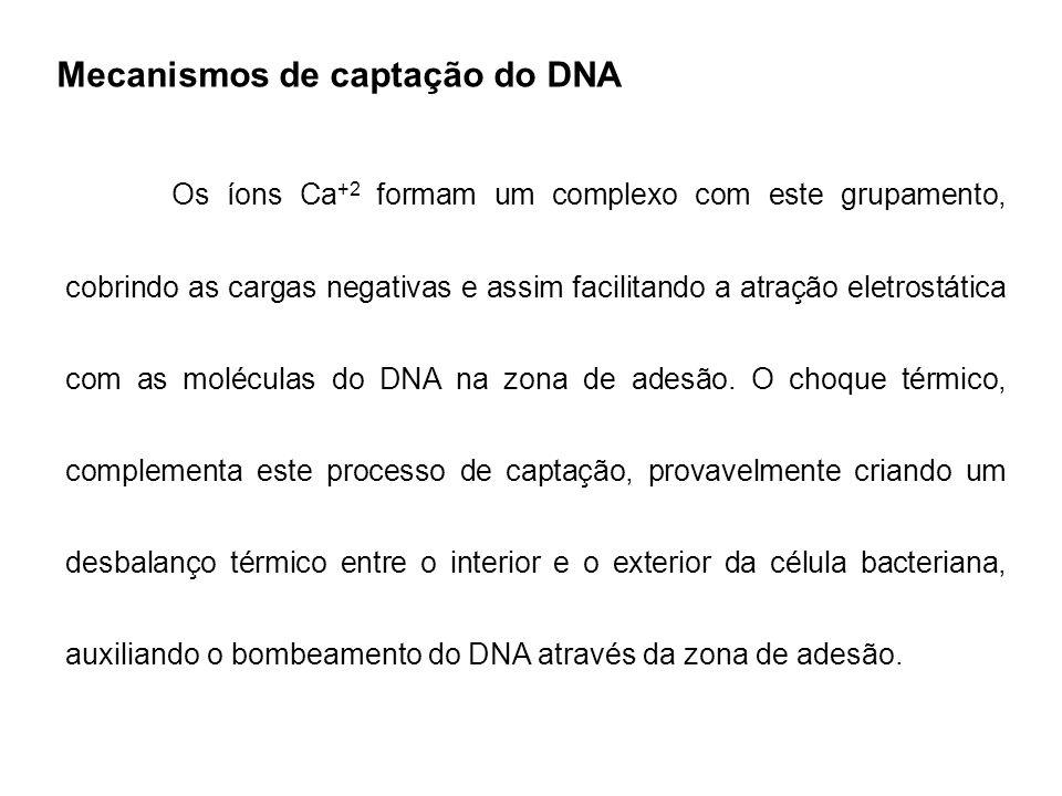 Mecanismos de captação do DNA Os íons Ca +2 formam um complexo com este grupamento, cobrindo as cargas negativas e assim facilitando a atração eletros