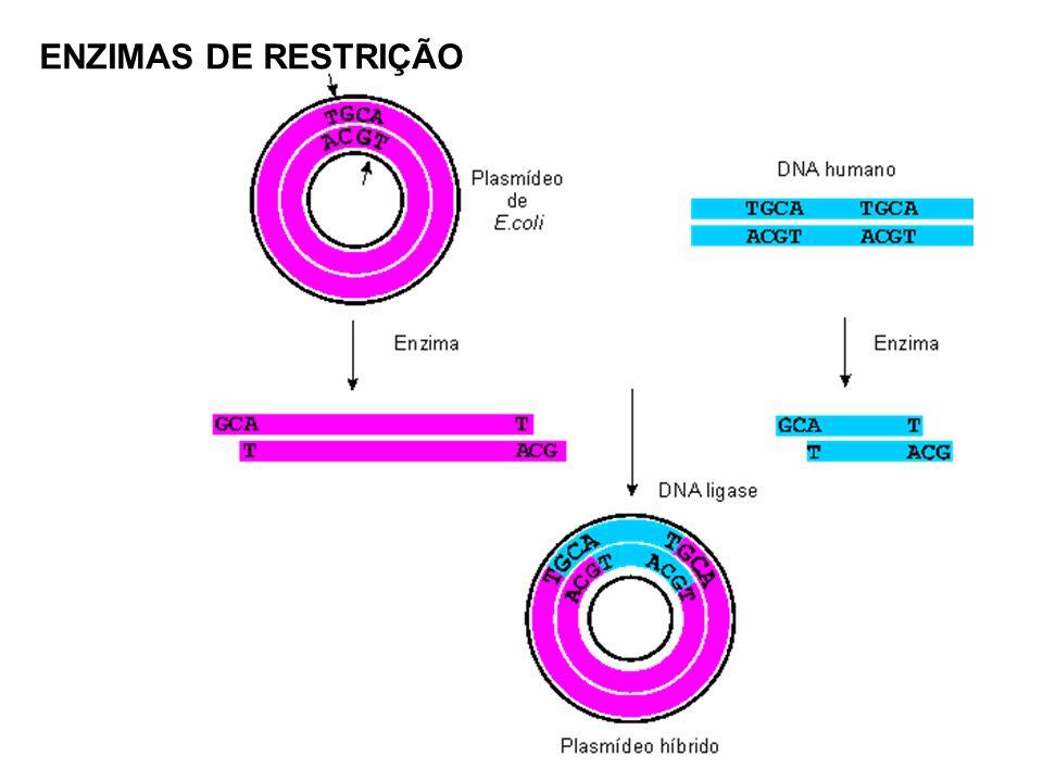 A DNA ligase requer um grupo OH livre na extremidade 3 de uma das cadeias de DNA e um grupo fosfato na extremidade 5 da outra cadeia (Figura 4).