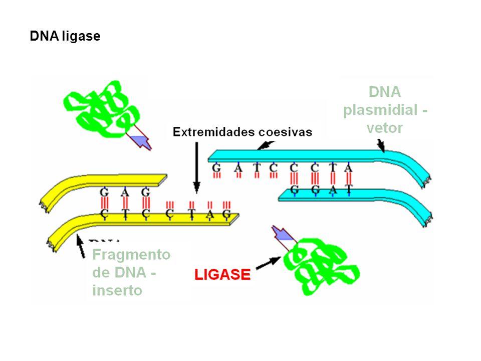 Tipos de fragmentos de DNA que são ligados pela DNA ligase ENZIMAS DE RESTRIÇÃO Fragmentos com extremidades coesivas As extremidades coesivas produzidas por várias enzimas de restrição permitem que dois fragmentos de DNA sejam mais facilmente ligados.