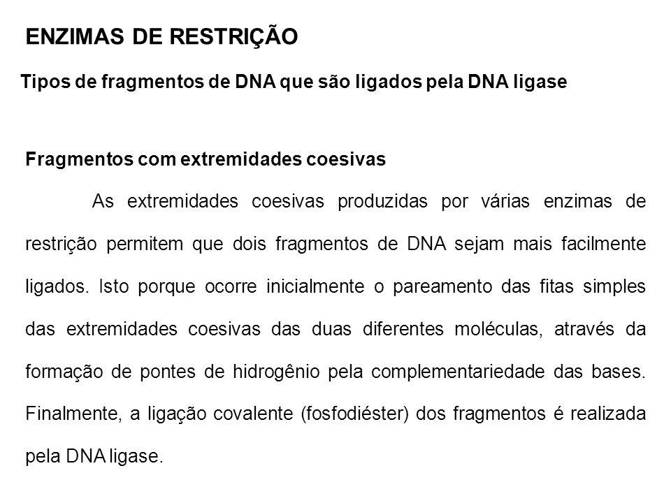 ENZIMAS DE RESTRIÇÃO Tipos de fragmentos de DNA que são ligados pela DNA ligase Fragmentos com extremidade não coesivas DNAs portando extremidades não coesivas são ligados com muito menos eficiência que aqueles que tem extremidades coesivas.