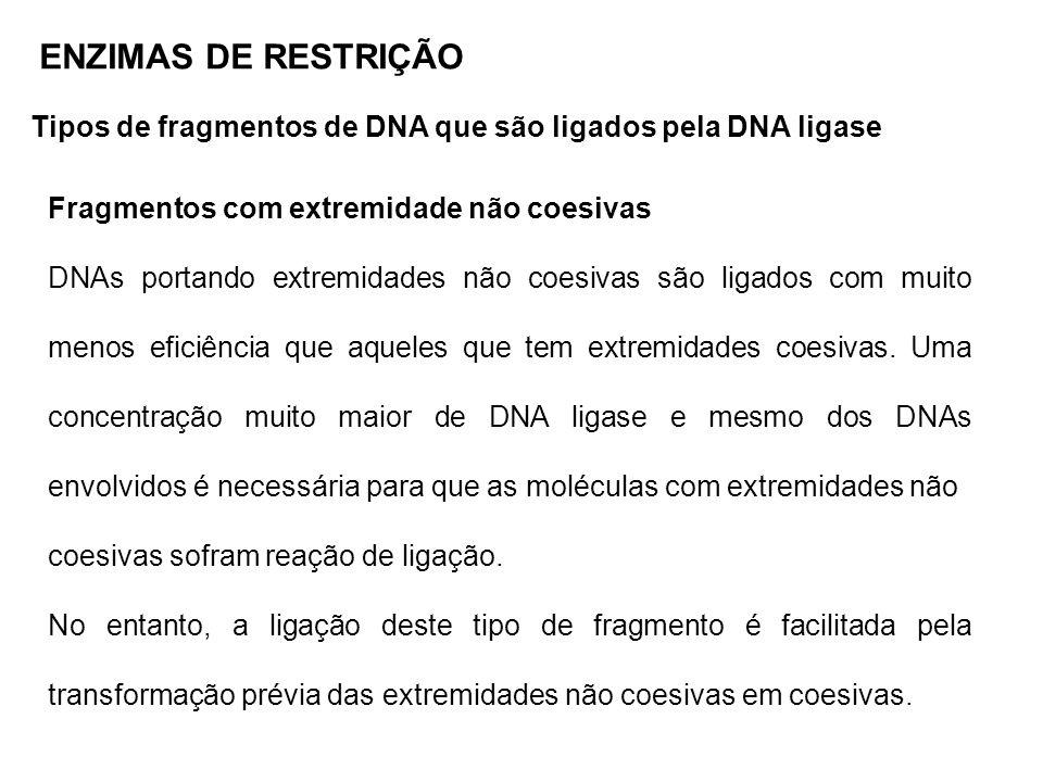 ENZIMAS DE RESTRIÇÃO Tipos de fragmentos de DNA que são ligados pela DNA ligase Fragmentos com extremidade não coesivas DNAs portando extremidades não