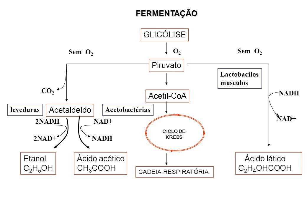 FERMENTAÇÃO GLICÓLISE Piruvato Acetil-CoA CADEIA RESPIRATÓRIA CICLO DE KREBS Acetaldeído Etanol C 2 H 5 OH Ácido acético CH 3 COOH Ácido lático C 2 H