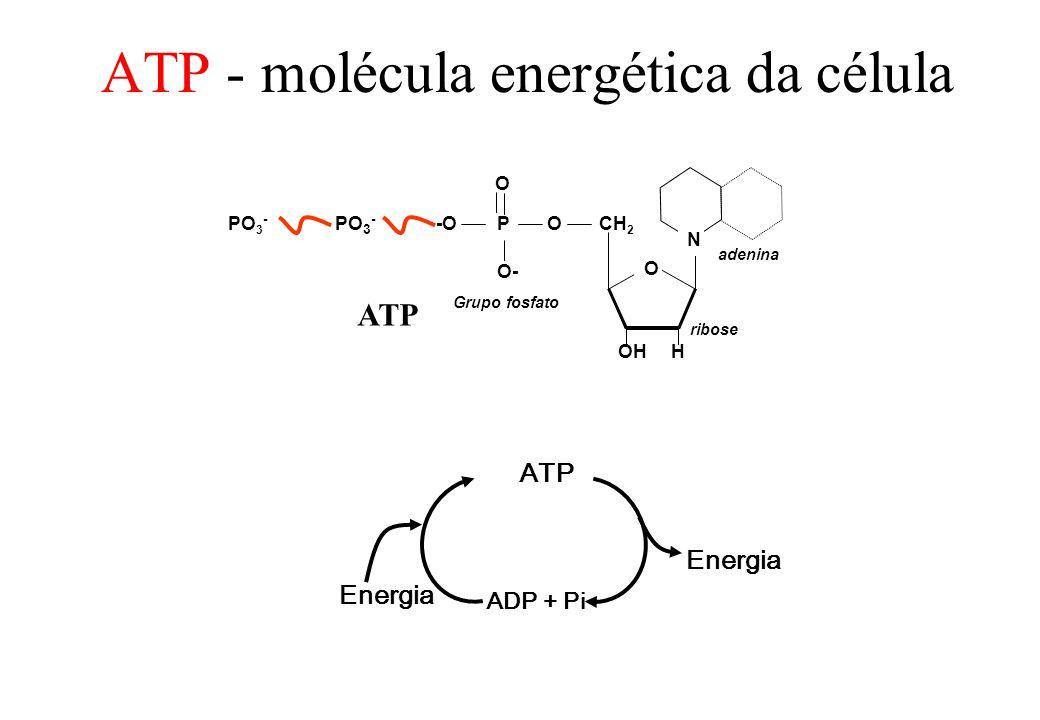 P O -OO O- CH 2 OHH N Grupo fosfato O PO 3 - ribose adenina ATP ADP + Pi Energia ATP - molécula energética da célula