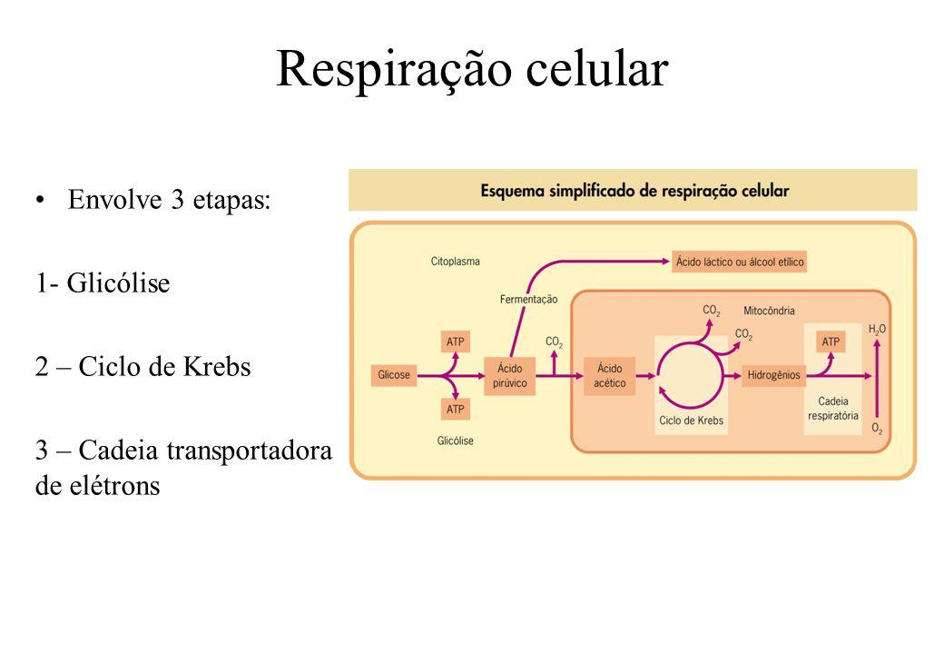 Respiração celular Envolve 3 etapas: 1- Glicólise 2 – Ciclo de Krebs 3 – Cadeia transportadora de elétrons