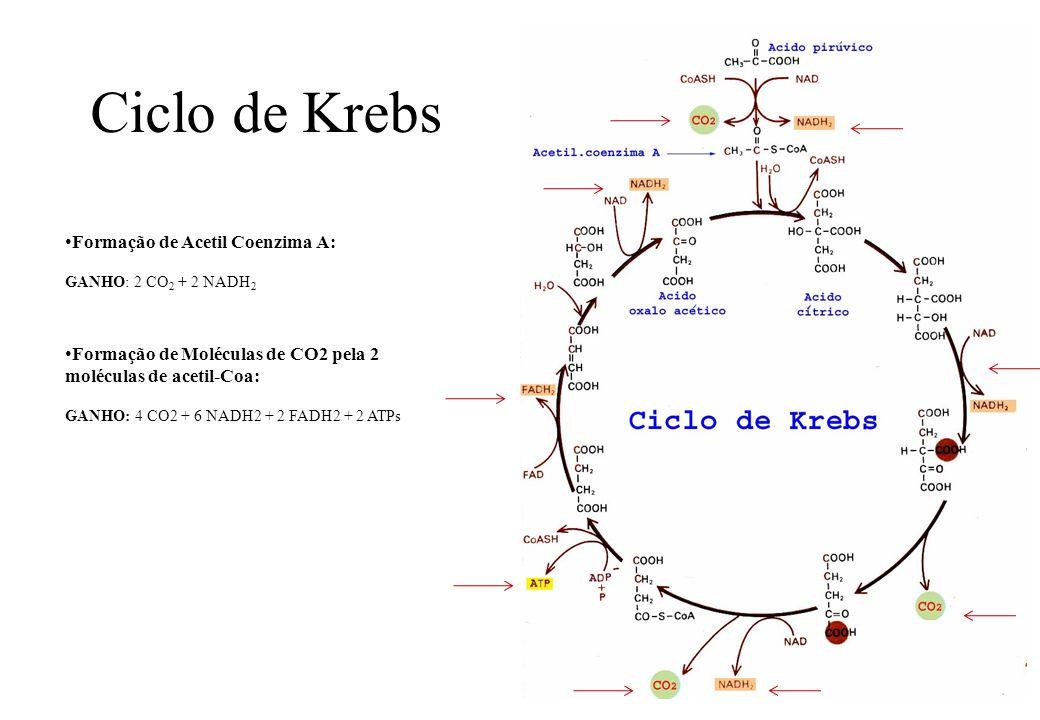 Ciclo de Krebs Formação de Acetil Coenzima A: GANHO: 2 CO 2 + 2 NADH 2 Formação de Moléculas de CO2 pela 2 moléculas de acetil-Coa: GANHO: 4 CO2 + 6 N