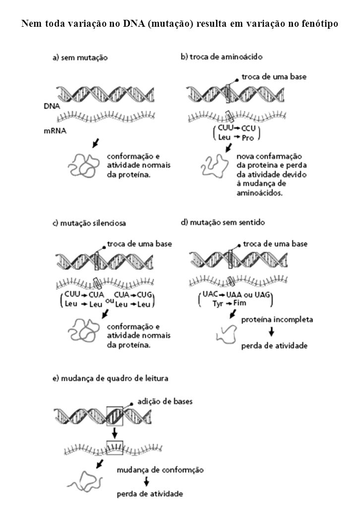 Nem toda variação no DNA (mutação) resulta em variação no fenótipo