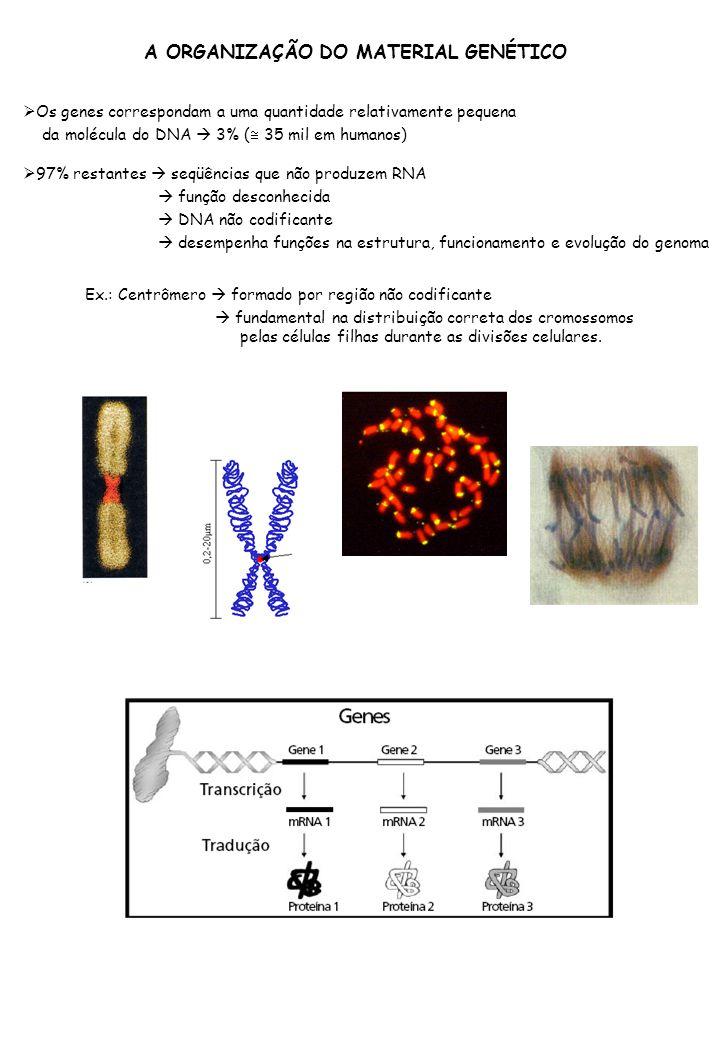 Os genes correspondam a uma quantidade relativamente pequena da molécula do DNA 3% ( 35 mil em humanos) 97% restantes seqüências que não produzem RNA função desconhecida DNA não codificante desempenha funções na estrutura, funcionamento e evolução do genoma Ex.: Centrômero formado por região não codificante fundamental na distribuição correta dos cromossomos pelas células filhas durante as divisões celulares.