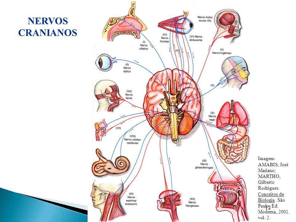 12 Imagem: AMABIS, José Mariano; MARTHO, Gilberto Rodrigues. Conceitos de Biologia. São Paulo, Ed. Moderna, 2001. vol. 2. NERVOS CRANIANOS