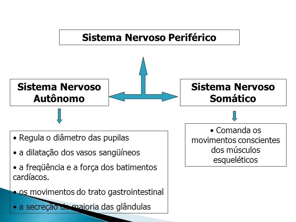 Sistema Nervoso Autônomo Sistema Nervoso Somático Sistema Nervoso Periférico Regula o diâmetro das pupilas a dilatação dos vasos sangüíneos a freqüênc