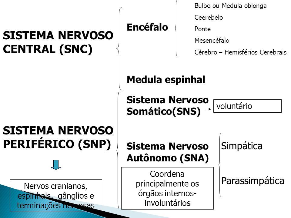 SISTEMA NERVOSO CENTRAL (SNC) SISTEMA NERVOSO PERIFÉRICO (SNP) Encéfalo Medula espinhal Sistema Nervoso Somático(SNS) Sistema Nervoso Autônomo (SNA) S