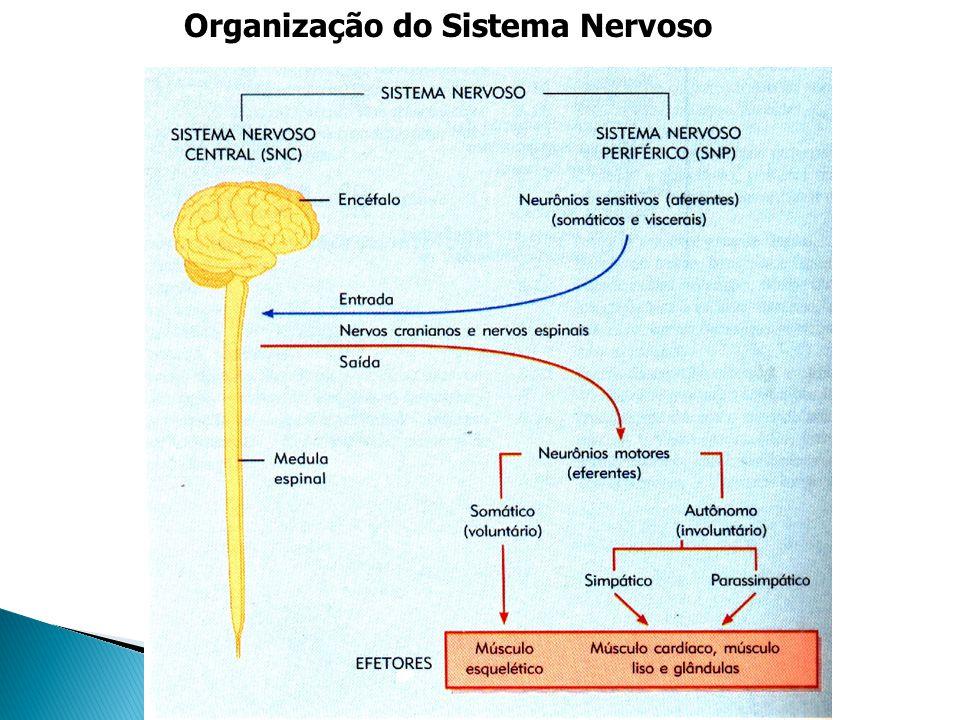 * Critérios funcionais:.S. N. Somático: Voluntário - cérebro..
