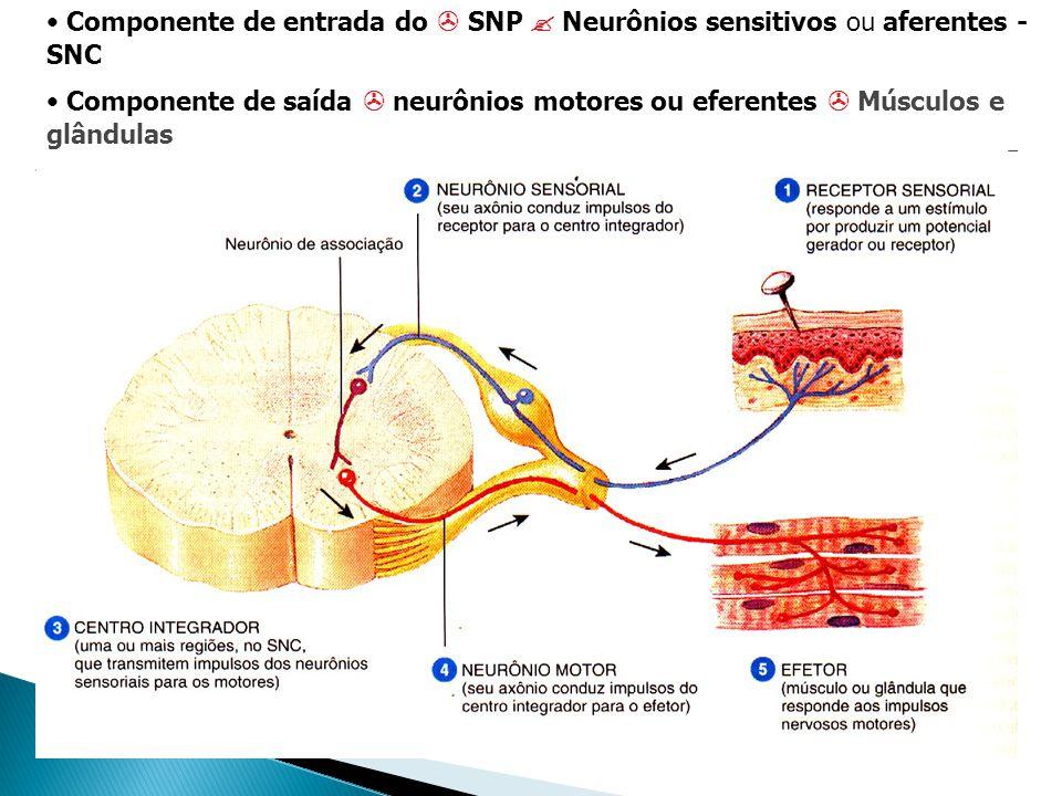 Componente de entrada do SNP Neurônios sensitivos ou aferentes - SNC Componente de saída neurônios motores ou eferentes Músculos e glândulas