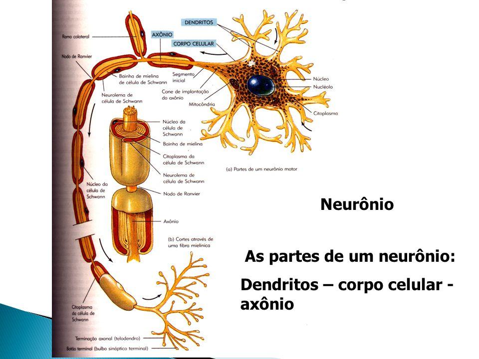 Relacionado com inervação e controle das estruturas viscerais.Dividido em: Aferente: conduz os impulsos nervosos originados em receptores das vísceras (visceroceptores) à áreas específicas do sistema nervoso.