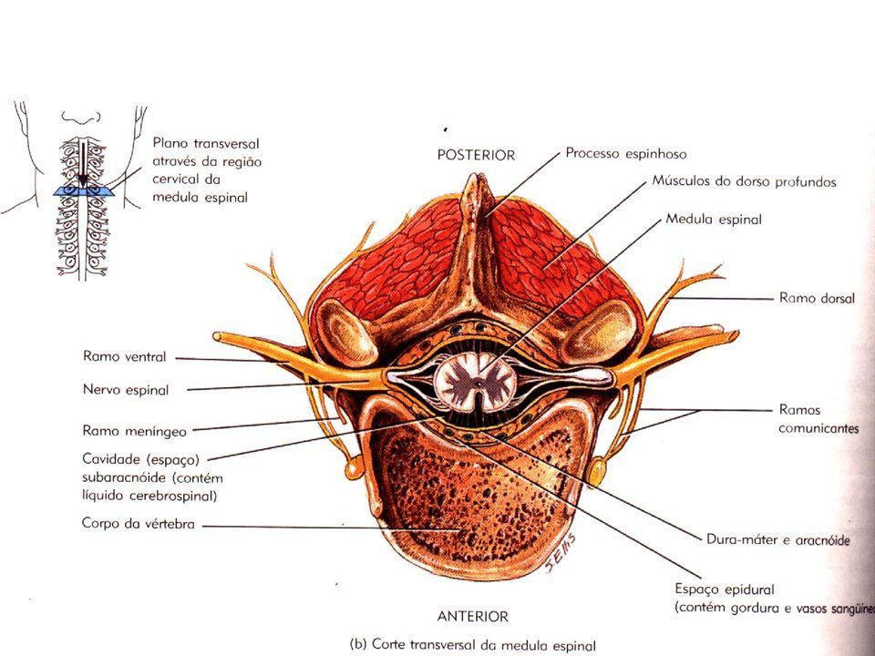 Apesar de agirem de forma antagônica nos órgãos, os dois sistemas trabalham de forma harmoniosa no funcionamento de cada órgão.