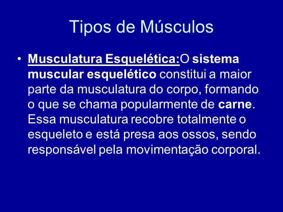 Tipos de Músculos Musculatura Esquelética:O sistema muscular esquelético constitui a maior parte da musculatura do corpo, formando o que se chama popu