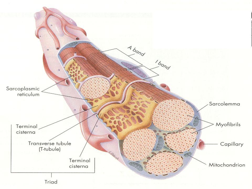 Estrutura Muscular