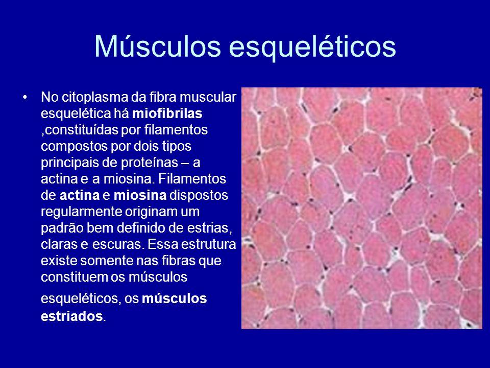 Músculos esqueléticos No citoplasma da fibra muscular esquelética há miofibrilas,constituídas por filamentos compostos por dois tipos principais de pr