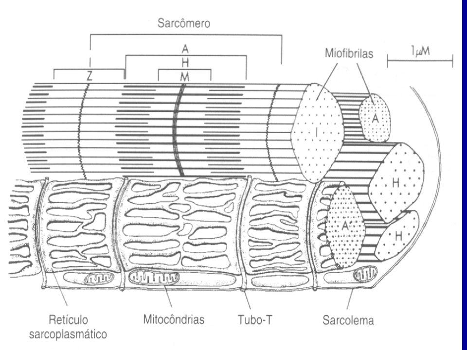 RS e Túbulos T