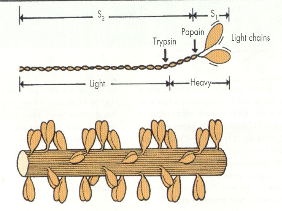O Filamento de Miosina
