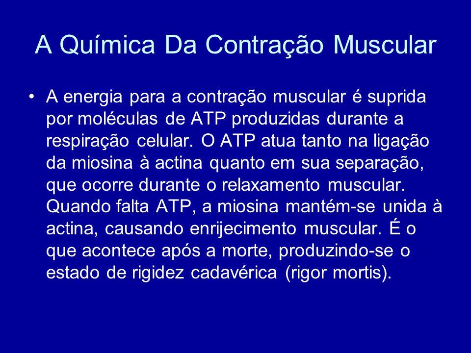 A energia para a contração muscular é suprida por moléculas de ATP produzidas durante a respiração celular. O ATP atua tanto na ligação da miosina à a