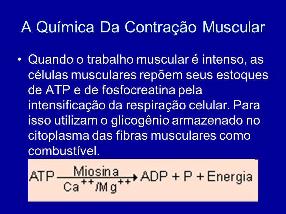A Química Da Contração Muscular Quando o trabalho muscular é intenso, as células musculares repõem seus estoques de ATP e de fosfocreatina pela intens