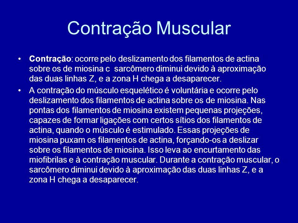 Contração Muscular Contração: ocorre pelo deslizamento dos filamentos de actina sobre os de miosina c sarcômero diminui devido à aproximação das duas