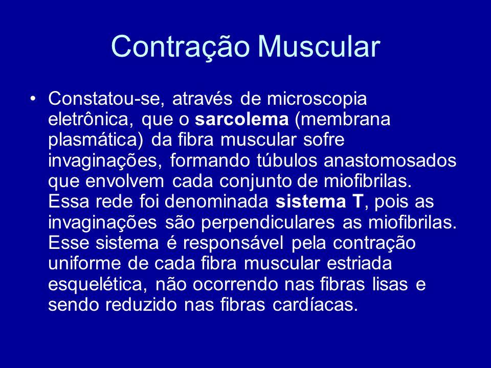 Constatou-se, através de microscopia eletrônica, que o sarcolema (membrana plasmática) da fibra muscular sofre invaginações, formando túbulos anastomo