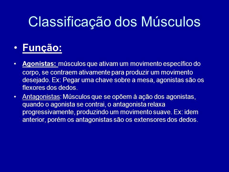 Classificação dos Músculos Função: Agonistas: músculos que ativam um movimento específico do corpo, se contraem ativamente para produzir um movimento