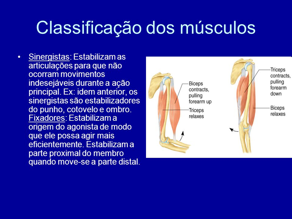 Classificação dos músculos Sinergistas: Estabilizam as articulações para que não ocorram movimentos indesejáveis durante a ação principal. Ex: idem an