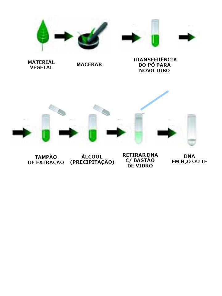 MATERIAL VEGETAL MACERAR TRANSFERÊNCIA DO PÓ PARA NOVO TUBO TAMPÃO DE EXTRAÇÃO ÁLCOOL (PRECIPITAÇÃO) RETIRAR DNA C/ BASTÃO DE VIDRO DNA EM H 2 O OU TE