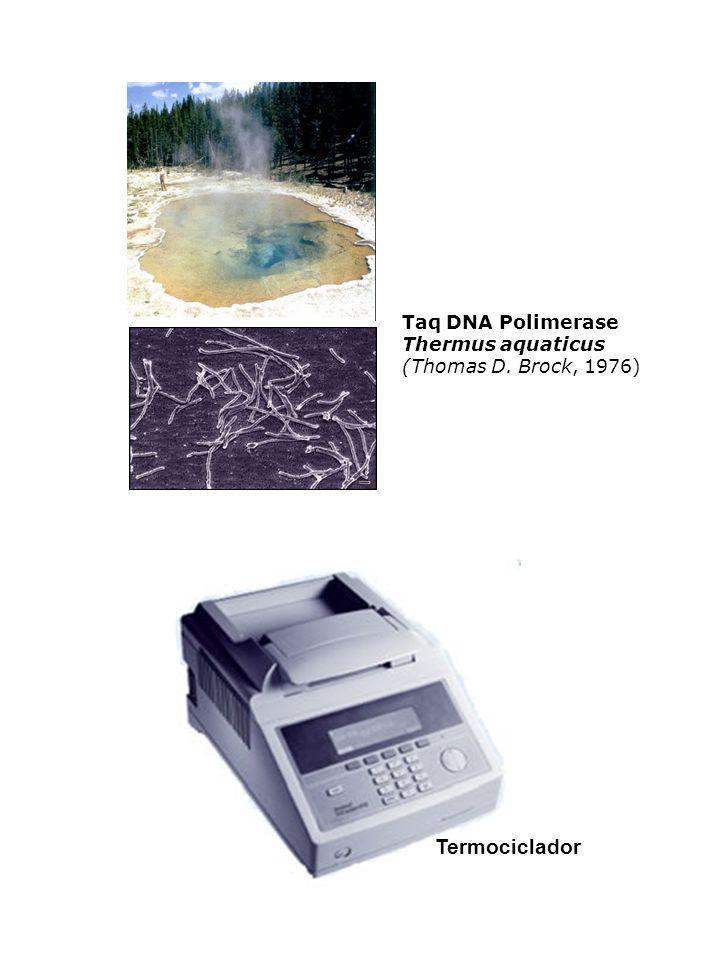 Taq DNA Polimerase Thermus aquaticus (Thomas D. Brock, 1976) Termociclador