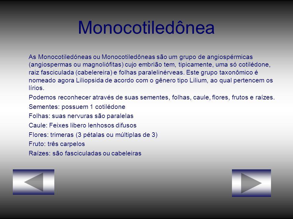 Monocotiledônea As Monocotiledóneas ou Monocotiledôneas são um grupo de angiospérmicas (angiospermas ou magnoliófitas) cujo embrião tem, tipicamente, uma só cotilédone, raiz fasciculada (cabelereira) e folhas paralelinérveas.