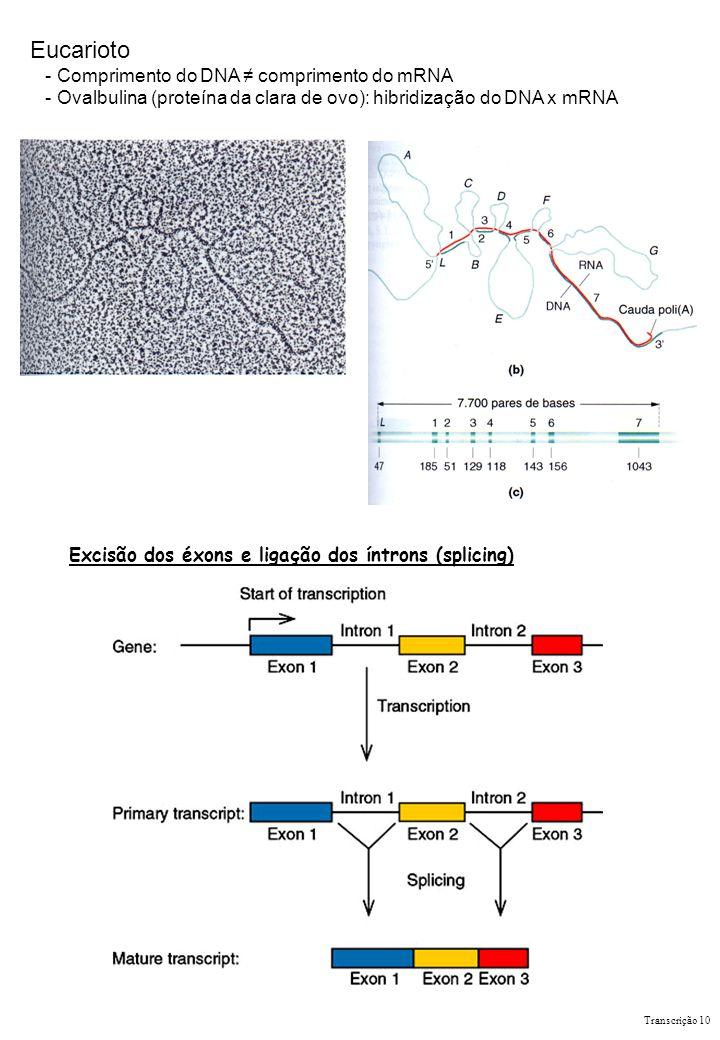 Eucarioto - Comprimento do DNA comprimento do mRNA - Ovalbulina (proteína da clara de ovo): hibridização do DNA x mRNA Excisão dos éxons e ligação dos