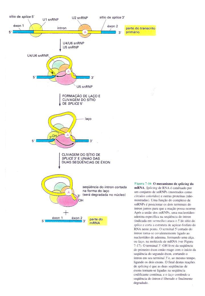 Emenda (splicing) alternativo do éxons Processamento diferenciado em Eucarioto (a tropomiosina) Transcrição 12