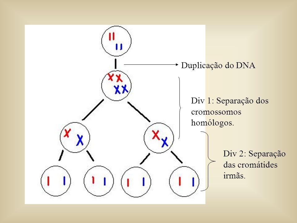 Duplicação do DNA Div 1: Separação dos cromossomos homólogos. Div 2: Separação das cromátides irmãs.