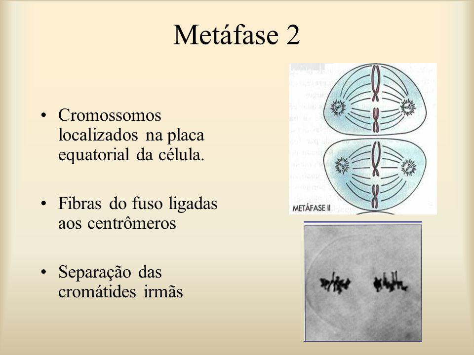 Metáfase 2 Cromossomos localizados na placa equatorial da célula. Fibras do fuso ligadas aos centrômeros Separação das cromátides irmãs