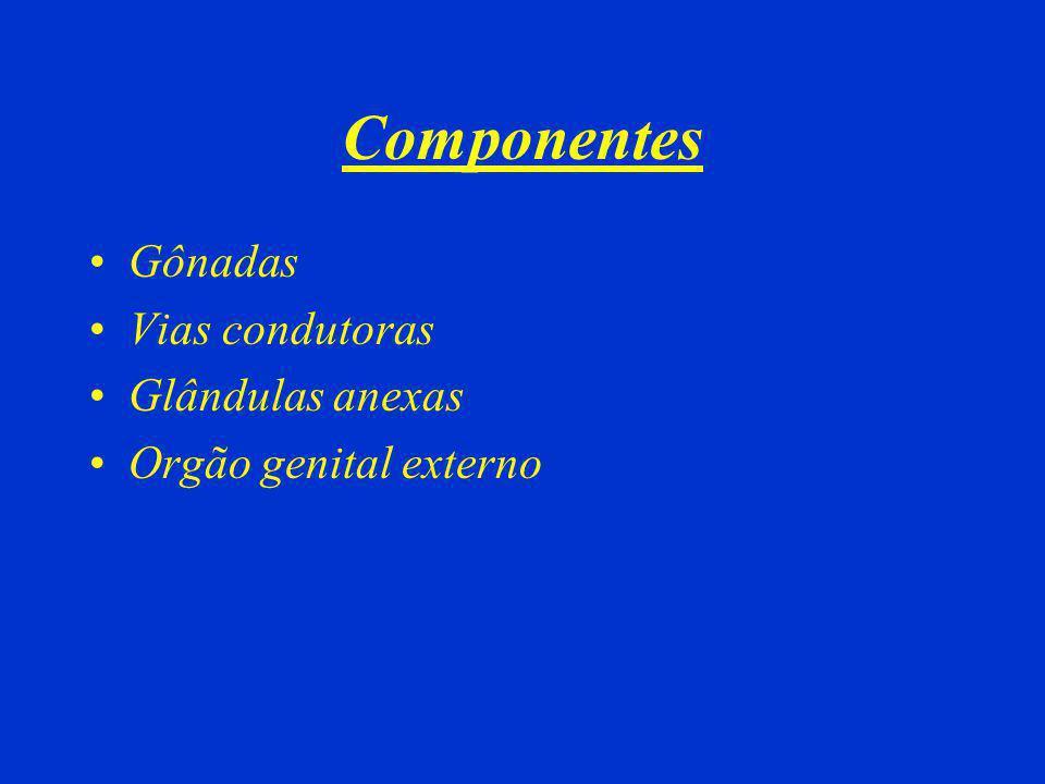 Componentes Gônadas Vias condutoras Glândulas anexas Orgão genital externo