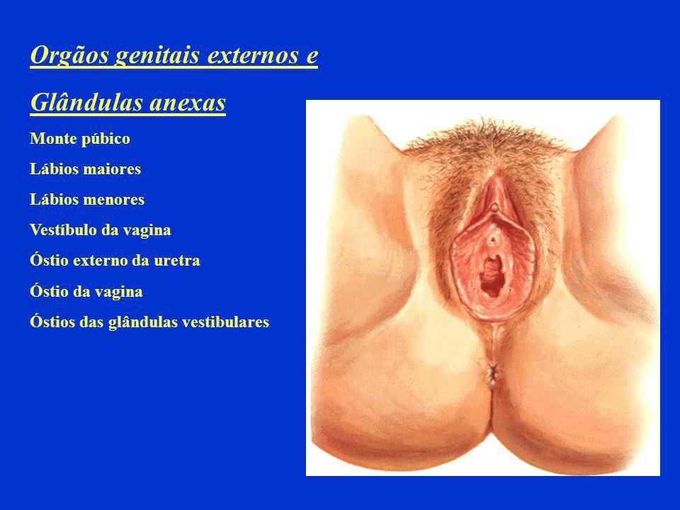 Orgãos genitais externos e Glândulas anexas Monte púbico Lábios maiores Lábios menores Vestíbulo da vagina Óstio externo da uretra Óstio da vagina Óst