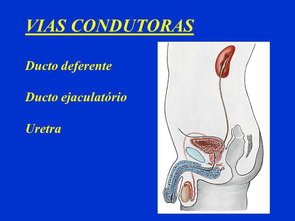 VIAS CONDUTORAS Ducto deferente Ducto ejaculatório Uretra