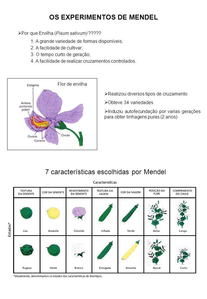 OS EXPERIMENTOS DE MENDEL Por que Ervilha (Pisum sativum) ????.